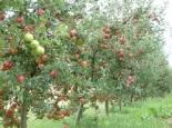 Toaletat pomi fructiferi